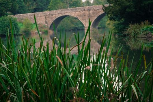 bridgereeds