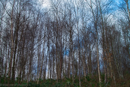 silverbirches-1