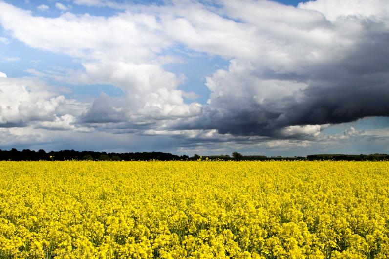 yellowfield-1