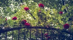 roses-1